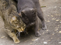 March family of cats in love Stock Photography