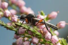 March fly, Bibio on heather Stock Photo