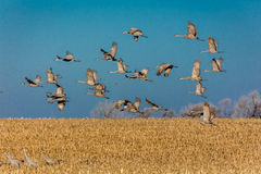 MARCH 7, 2017 - Grand Island, Nebraska -PLATTE RIVER, UNITED STATES Migratory Sandhill Cranes fly over cornfield at sunrise as par Royalty Free Stock Image