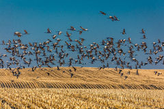 MARCH 7, 2017 - Grand Island, Nebraska -PLATTE RIVER, UNITED STATES Migratory Sandhill Cranes fly over cornfield at sunrise as par Stock Images