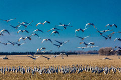 MARCH 7, 2017 - Grand Island, Nebraska -PLATTE RIVER, UNITED STATES Migratory Sandhill Cranes fly over cornfield at sunrise as par. T of their spring migration royalty free stock photos