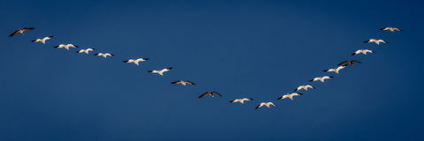 MARCH 7, 2017 - Grand Island, Nebraska -PLATTE RIVER, UNITED STATES Migratory Snow Geese and Sandhill Cranes are on their spring m royalty free stock photo
