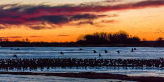 MARCH 8, 2017 - Grand Island, Nebraska -PLATTE RIVER, UNITED STATES Migratory water fowl and Sandhill Cranes are on their spring m Stock Images