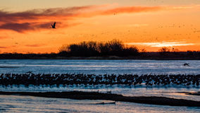 MARCH 8, 2017 - Grand Island, Nebraska -PLATTE RIVER, UNITED STATES Migratory water fowl and Sandhill Cranes are on their spring m Stock Image