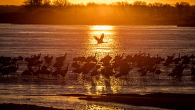 MARCH 8, 2017 - Grand Island, Nebraska -PLATTE RIVER, UNITED STATES Migratory water fowl and Sandhill Cranes are on their spring m Royalty Free Stock Image