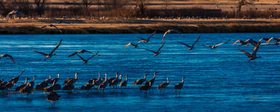 MARCH 8, 2017 - Grand Island, Nebraska -PLATTE RIVER, UNITED STATES Migratory water fowl and Sandhill Cranes are on their spring m. Igration from Texas and Stock Images