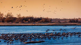 MARCH 8, 2017 - Grand Island, Nebraska -PLATTE RIVER, UNITED STATES Migratory water fowl and Sandhill Cranes are on their spring m Royalty Free Stock Photos