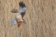 March Harrier Royalty Free Stock Photography