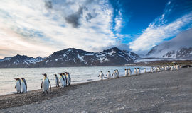 The march of the King Penguins. On the shoreline of South Georgia Stock Photography