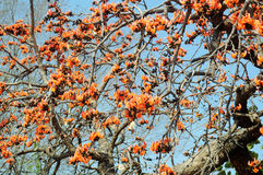 Chhola tree in full bloom Stock Images
