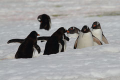 March Of The Penguins, Antarctica Royalty Free Stock Photo