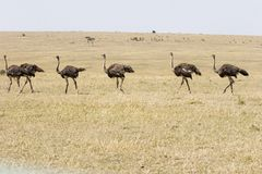 March of the Ostriches. Six ostriches file in single file on the Masai Mara plain Stock Photography