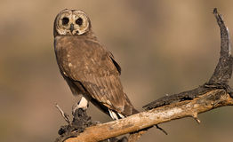 March Owl on pirtch. Majestic African March owl pirtched looking left on brurred background Royalty Free Stock Image