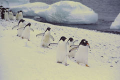 March of the Penguins Royalty Free Stock Image