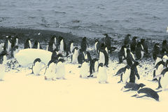 March of the Penguins; Royalty Free Stock Photography
