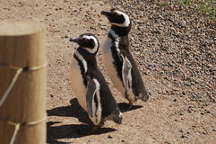 March of the Penguins. Two Patagonian penguins crossing the penguin road Royalty Free Stock Images