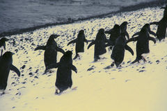 March of the Penguins Stock Photography