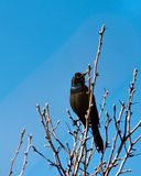 March rook is a harbinger of spring Royalty Free Stock Images