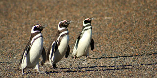 March Of Three Penguins Stock Photos