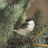 March tit on a  branch Stock Images