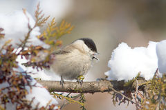 March tit  / Poecile palustris Royalty Free Stock Photography