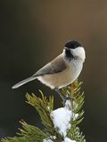 March tit on a snowy  branch Stock Photography