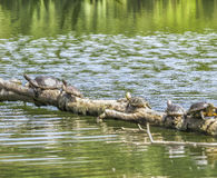March of the turtles at El Dorado East Regional Park. Long Beach - CA- USA Royalty Free Stock Photos