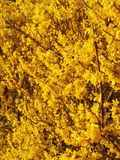 March Yellow Forsythia Flowers Stock Photography