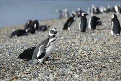 Marchant avec des pingouins de Magellanic à l'île de Martillo, l'Argentine Images stock