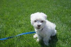 Marchant le chien Photos libres de droits