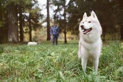 Marchant un chien dans la forêt le soir Image stock