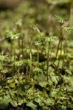 Marchantia polymorpha Stock Image
