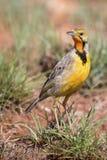 Marche à longues griffes de cap throated orange dans l'herbe verte Macronyx Images stock