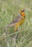Marche à longues griffes de cap throated orange dans l'herbe verte Macronyx Photos stock