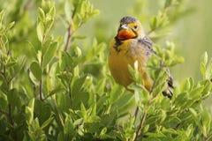 Marche à longues griffes de cap throated orange dans l'herbe verte Macronyx Photo libre de droits