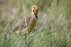 Marche à longues griffes de cap throated orange dans la longue herbe verte Photos stock