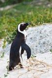 marche africaine Noir-aux pieds de pingouin Photos stock