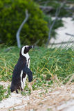 marche africaine Noir-aux pieds de pingouin Images stock