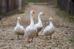 Marche blanche d'oies Image stock