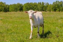 Marche blanche de chèvre Photographie stock libre de droits