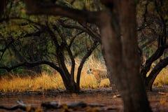 Marche cachée par tigre sous la première pluie de vieux tigre indien sec de forêt, animal sauvage de danger dans l'habitat de nat photos stock