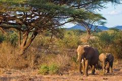 marche d'éléphants de l'Afrique buisson Photos libres de droits