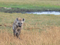 Marche d'hyène Photos stock