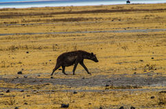 Marche d'hyène photographie stock