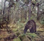 Marche d'ours de Brown photographie stock libre de droits
