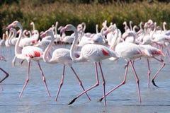 Marche dans l'eau des flamants roses photo libre de droits