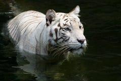 Marche dans l'eau du tigre Photos libres de droits