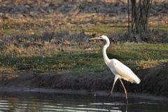Marche dans l'eau grande de héron (Ardea alba) Image stock
