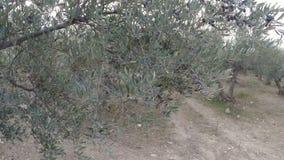 Marche dans un verger olive banque de vidéos
