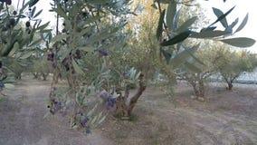 Marche dans un verger olive clips vidéos